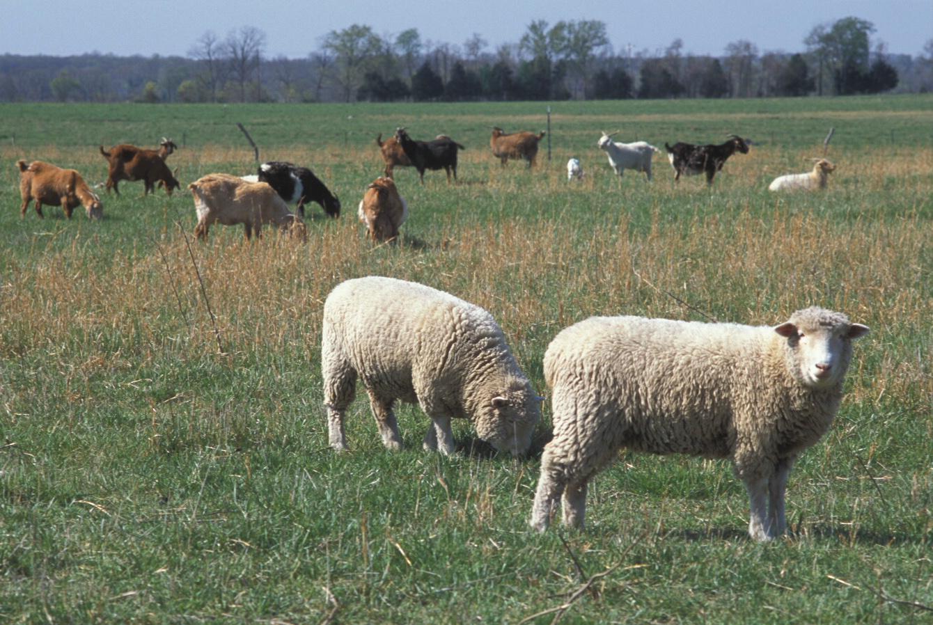 Lamb & Goat & Sheep